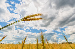 Wheat ears and sun Stock Photography