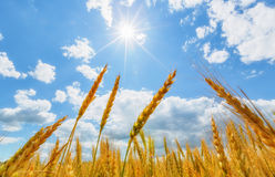 Wheat ears and sun Royalty Free Stock Photo