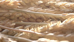 Wheat Ears and Sun stock footage