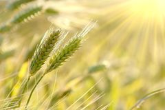 Wheat ears at sunrise in spring Stock Photo