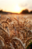 Wheat ears during sunset Stock Photos