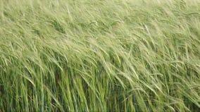Wheat ears stock footage