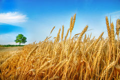 Wheat ears and tree Royalty Free Stock Image