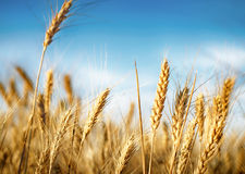 Wheat ears under blue sky Royalty Free Stock Photography