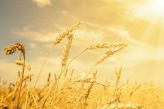 Wheat ears under golden shining Stock Photos