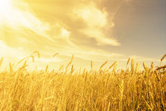 Wheat ears under golden shining Royalty Free Stock Images