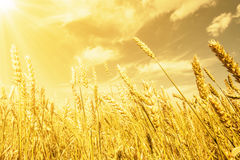 Wheat ears under golden shining Stock Image