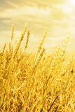 Wheat ears under golden shining Royalty Free Stock Photography