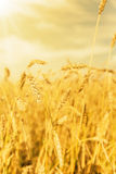 Wheat ears under golden shining Royalty Free Stock Photo