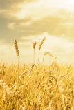 Wheat ears under golden shining Royalty Free Stock Image