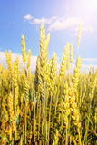 Wheat ears under shining Royalty Free Stock Photography