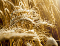 Wheat ears under sun close up Stock Images