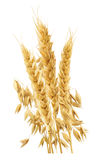 Wheat ears vertical isolated on white background Royalty Free Stock Photos