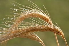 Wheat Ears and Water Drops Stock Photography