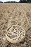 Wheat ears in wicker plate on farm field after harvesting Stock Photos