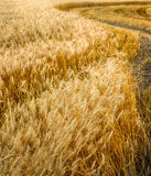 Wheat ears in the wind Royalty Free Stock Photography
