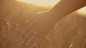 Wheat ears in woman hand. Field on sunset or sunrise. Harvest. Concept. Wheat ears in woman hand. Field on sunset or sunrise. Harvest. Concept stock video