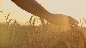 Wheat ears in woman hand. Field on sunset or sunrise. Harvest. Concept. Wheat ears in woman hand. Field on sunset or sunrise. Harvest. Concept stock video footage