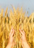 Wheat ears in the women hand Royalty Free Stock Photos