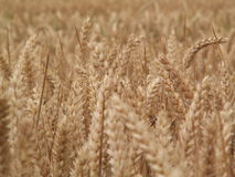 Wheat epi. KONICA MINOLTA DIGITAL CAMERA Royalty Free Stock Photos