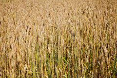 Wheat. Expanse of wheat field with yellow Royalty Free Stock Photo