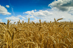 Wheat. Fabulous summer Golden wheat field Royalty Free Stock Photos