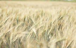 Wheat farm. Yellow wheat farm with sky Stock Image