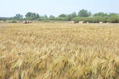 Wheat farm. Yellow wheat farm with sky Royalty Free Stock Image