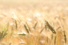 A close up view of ripe wheat, with background of wheat field. Yellow, gold Royalty Free Stock Photos