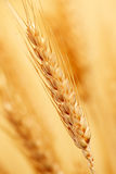 Wheat in the farm Stock Photos
