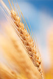 Wheat in the farm Royalty Free Stock Image