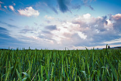Wheat Farm and Cloudscape. Wheat farm view of the sky and clouds in the background at sunrise Stock Photo