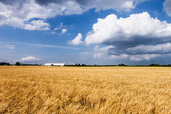Wheat farm field Stock Images