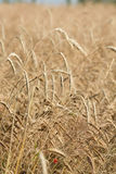 Wheat in a farm field Royalty Free Stock Photo