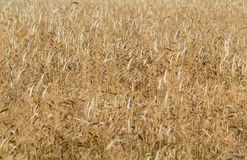 Wheat in a farm field Stock Images