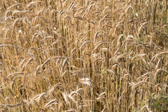 Wheat in a farm field Royalty Free Stock Photography
