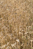 Wheat in a farm field Royalty Free Stock Image