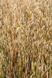 Wheat in a farm field Stock Photography