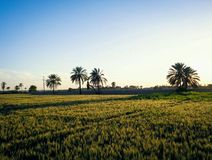 Wheat Farm Malir. This Picture Show That beauty of Malir Pakistan Sunlight Shadow at wheat And A Date plam Stock Photography