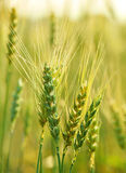 Wheat farming Royalty Free Stock Image