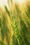 Wheat farming Royalty Free Stock Images