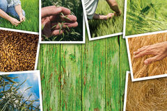 Wheat farming in agriculture photo collage. Collection of photos depicting growth and harvesting of cereal plant royalty free stock image