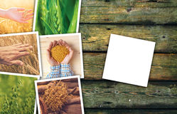 Wheat farming in agriculture photo collage. Collection of photos depicting growth and harvesting of cereal plant stock images