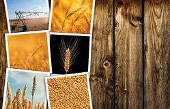 Wheat farming in agriculture photo collage. Collection of photos depicting growth and harvesting of cereal plant royalty free stock photos