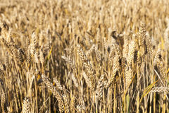 Wheat farming field Royalty Free Stock Photography
