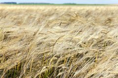 Wheat farming field Stock Photos