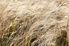 Wheat farming field Royalty Free Stock Image