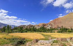 Wheat farming at Ladakh Stock Photography