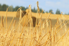 Wheat farming Royalty Free Stock Photography