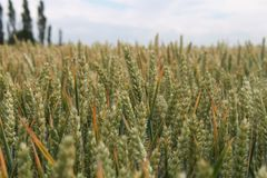 Wheat feild Royalty Free Stock Photography